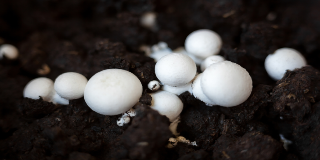 How to Grow Portobello Mushrooms